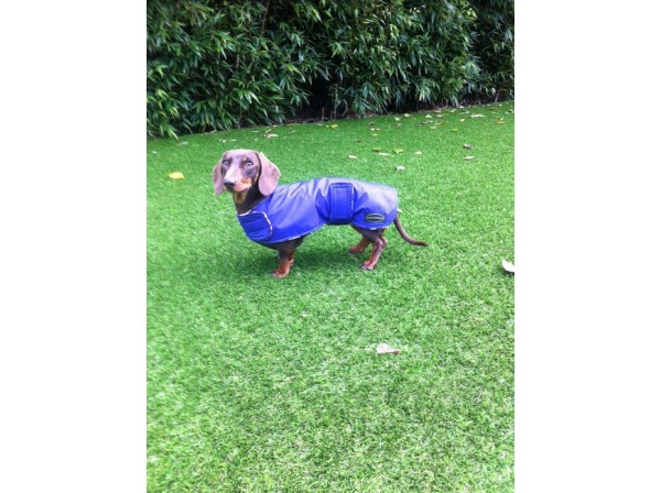 Dachsund waterproof